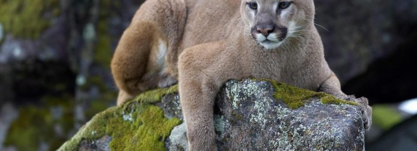 BS: Wrestler Fights off Mountain Lion