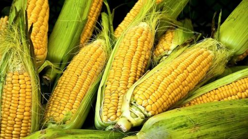 gmo-corn-after