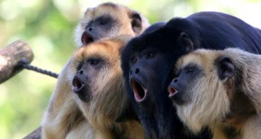 Monkeys with Smaller Testicles Compensate by Screaming Louder